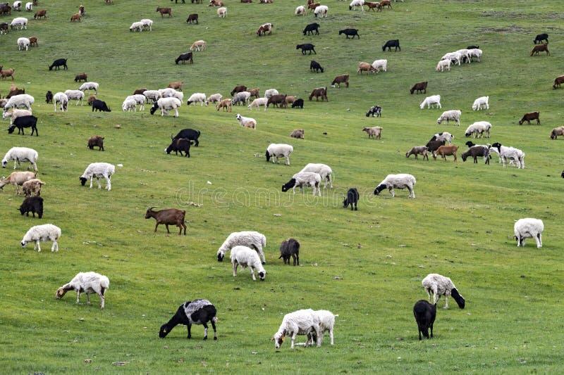 绵羊和克什米尔山羊混杂的牧群  免版税库存照片