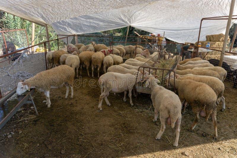 绵羊和山羊销售Eid AlAdha的,牺牲节日, 库存照片