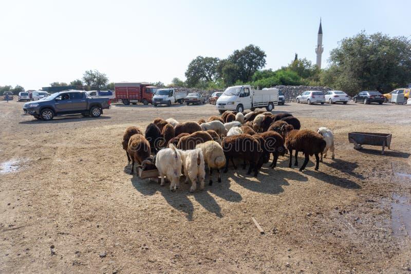 绵羊和山羊销售Eid AlAdha的,牺牲节日, 免版税库存照片