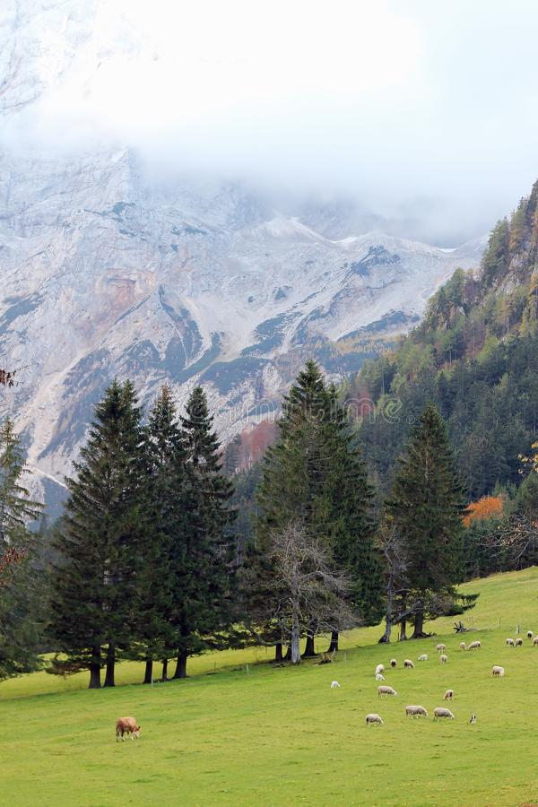 绵羊和母牛在一个绿色高山草甸,在山背景的一个完善的风景吃草 库存图片