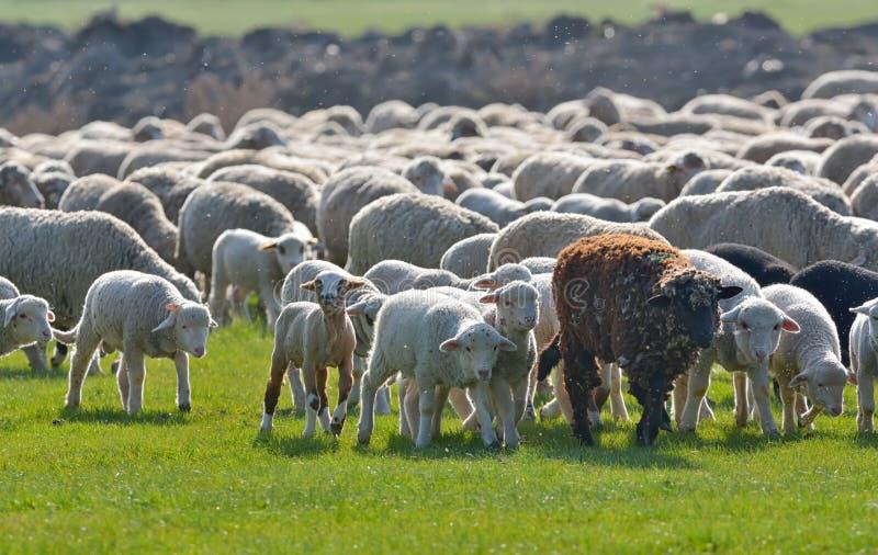 绵羊和羊羔群在领域在日落 图库摄影