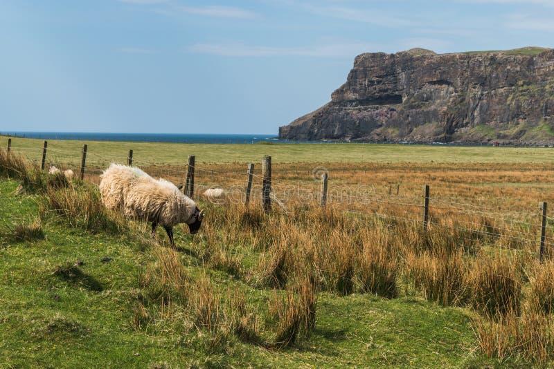绵羊和羊羔,峭壁 图库摄影