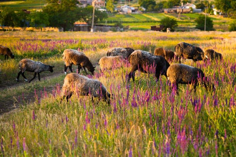 绵羊在与花的一个领域吃草在日落 图库摄影