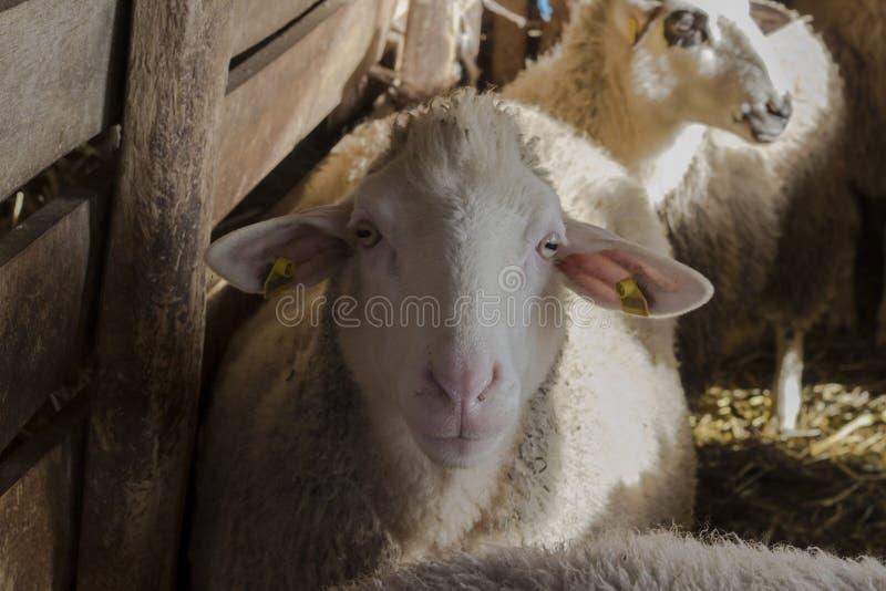 绵羊在乡下 农村的环境 sheepfold 免版税库存图片
