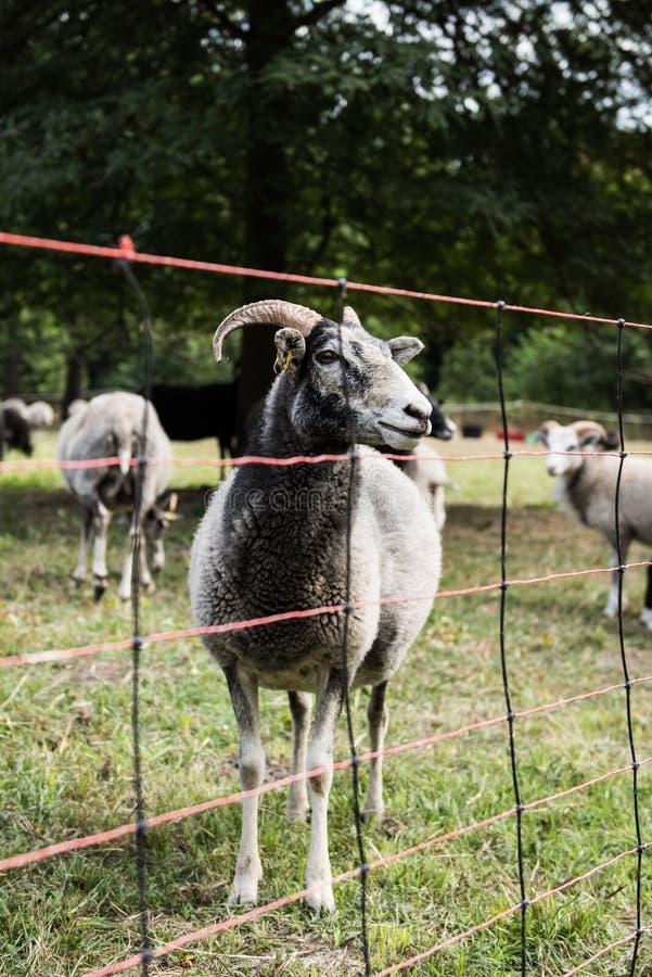 绵羊在围场 图库摄影