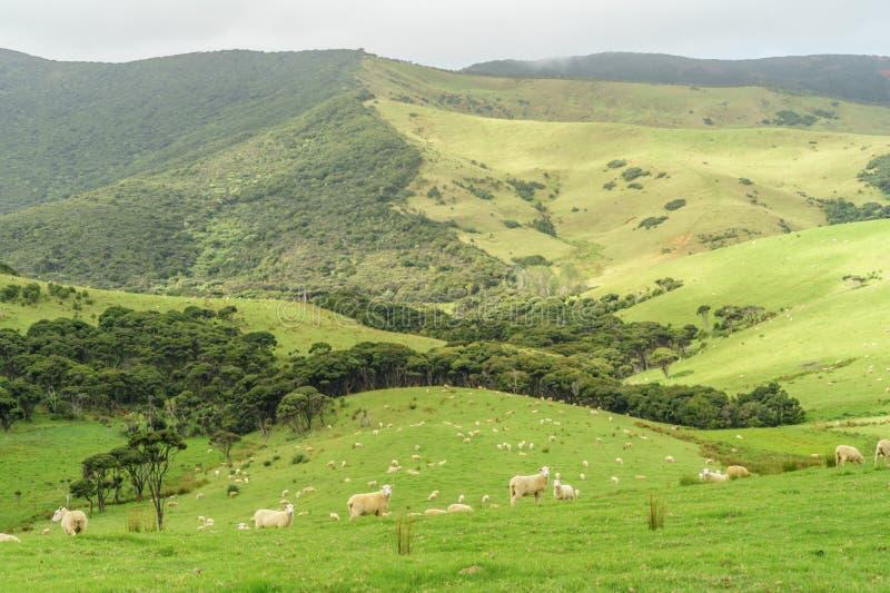 绵羊在多云天成群吃草在美好的绿色领域, 免版税库存照片
