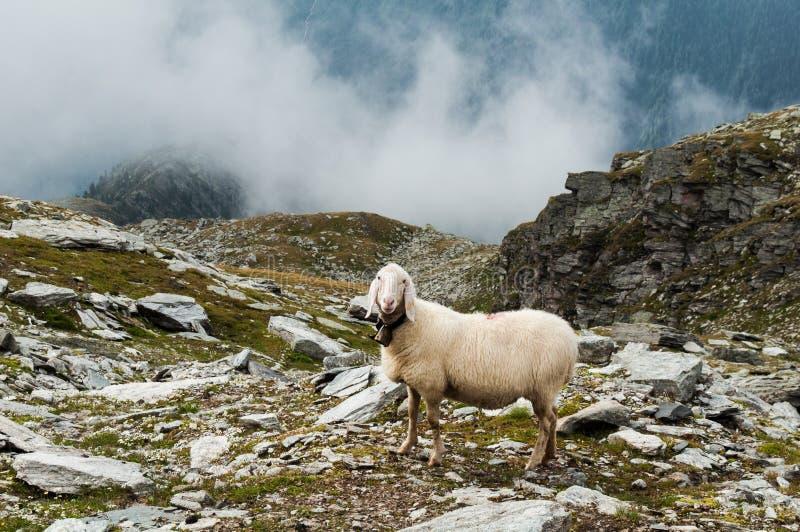 绵羊在意大利阿尔卑斯,特伦托自治省 免版税图库摄影