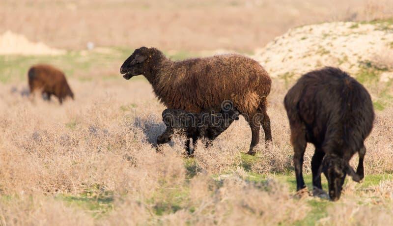 绵羊在日落的牧场地 免版税库存图片