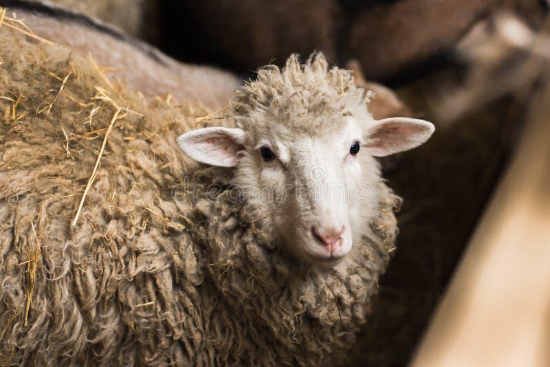 绵羊在村庄 库存照片