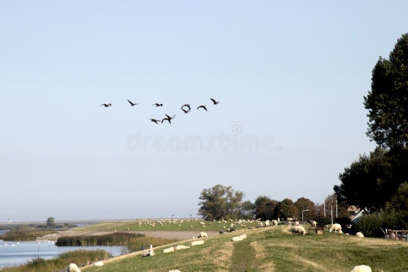 绵羊在荷兰堤堰吃草 图库摄影