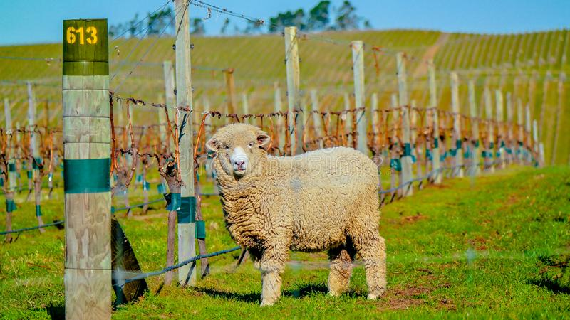 绵羊在葡萄园里,新西兰 免版税图库摄影