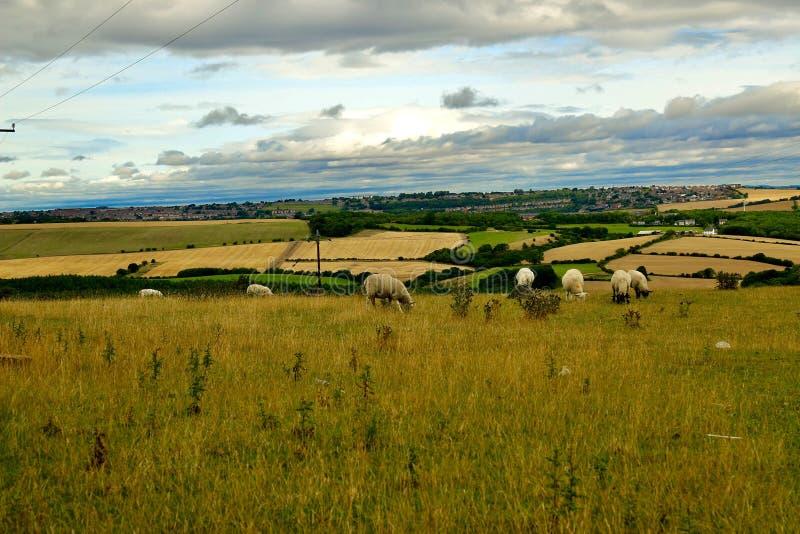 绵羊在蓝灰色天空和金黄麦地下 免版税库存图片