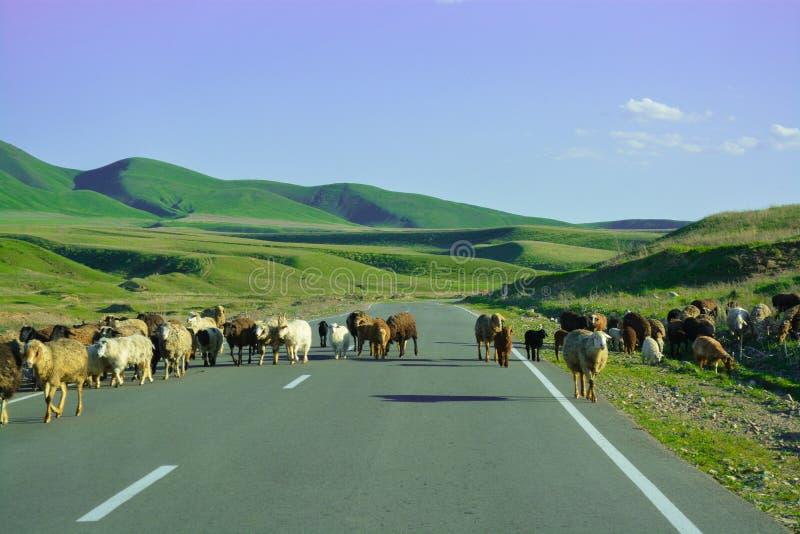 绵羊在路去 Tabr 青山 结算天数 山'Alatau' 免版税图库摄影