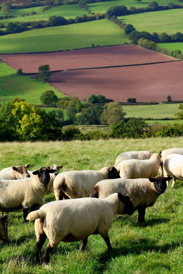 绵羊威尔士 图库摄影