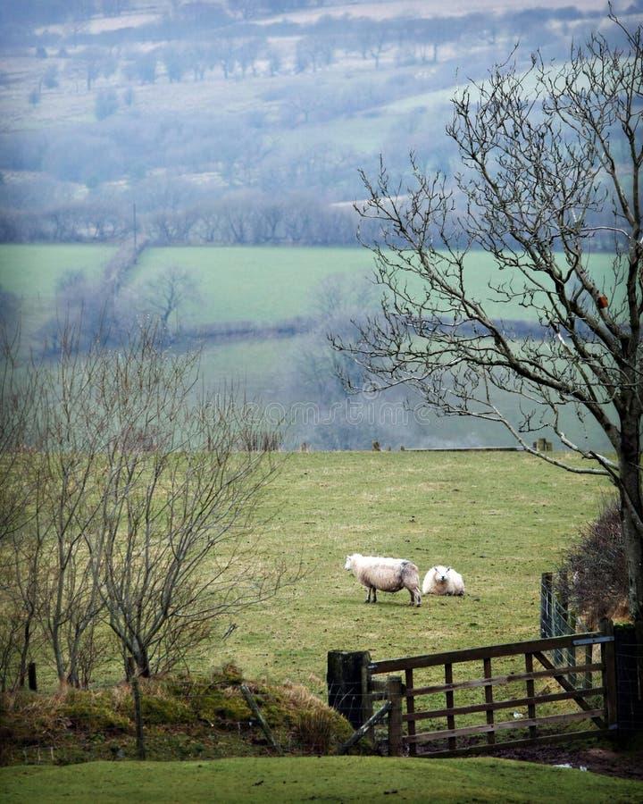 绵羊威尔士 库存照片