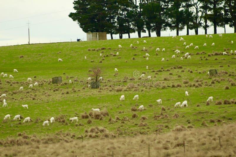 绵羊家庭在路的 免版税图库摄影