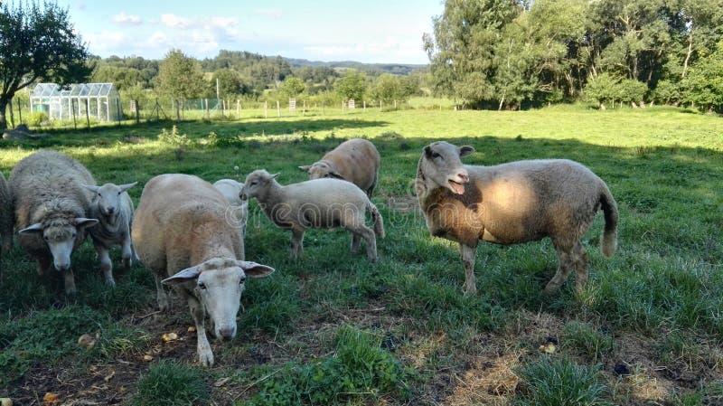 绵羊家庭的邻居 免版税图库摄影