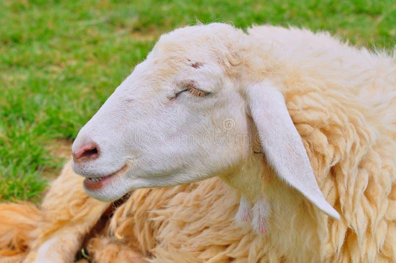 绵羊微笑 免版税图库摄影