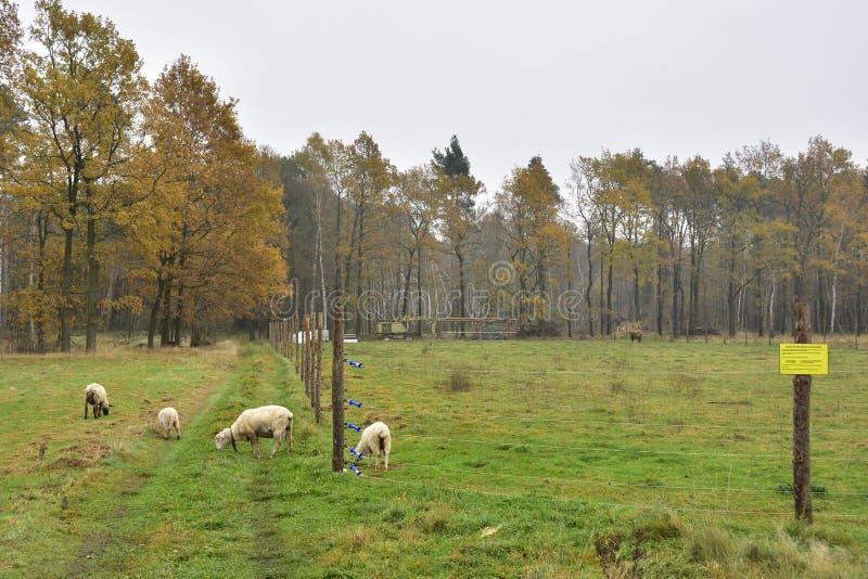 绵羊无保护的群在狼地区 免版税库存图片