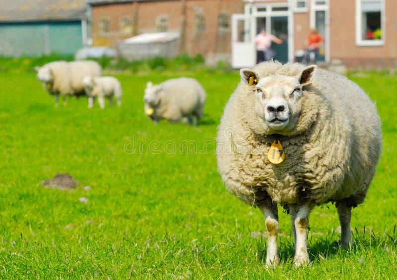 绵羊春天 库存图片