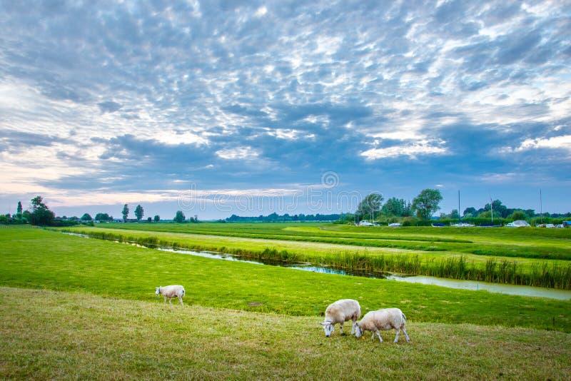 绵羊本质上在草甸的 种田室外,荷兰 库存照片