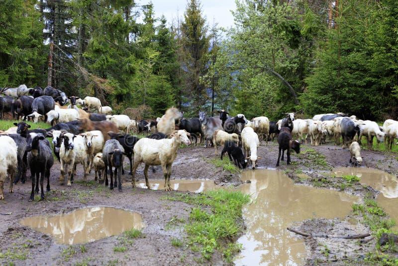 绵羊步行群沿在大水坑和高冷杉木中的大雨洗涤的路的 库存照片