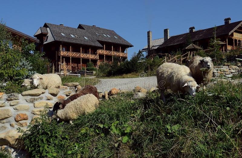 绵羊牧群在倾斜吃草反对美丽的木房子背景  免版税图库摄影