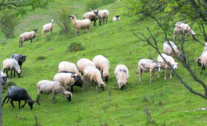 绵羊牧群在山的绿色牧场地吃草 免版税库存图片