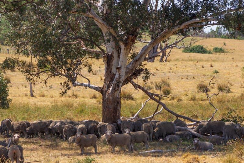 绵羊牧群在树下 库存图片