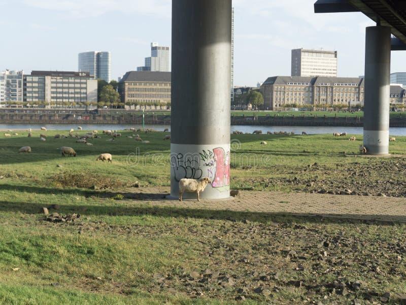 绵羊牧群在桥梁下 图库摄影