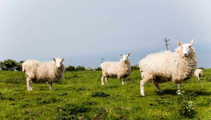绵羊牧群在绿色牧场地的在乡下 在山的绿色领域与吃草绵羊和蓝天 种田`动物 免版税图库摄影
