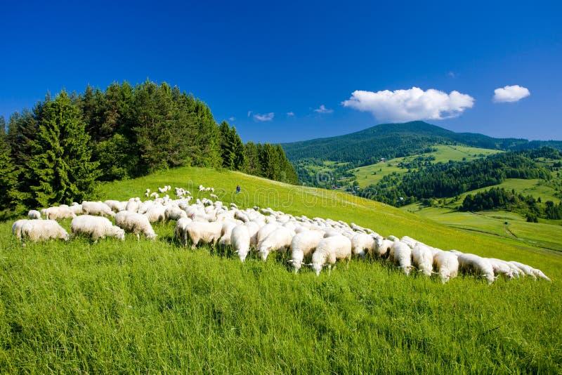 绵羊牧群,马拉山Fatra,斯洛伐克 库存照片