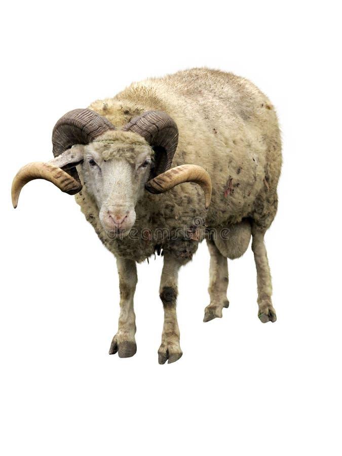 绵羊猛撞与垫铁查出在白色 免版税库存图片