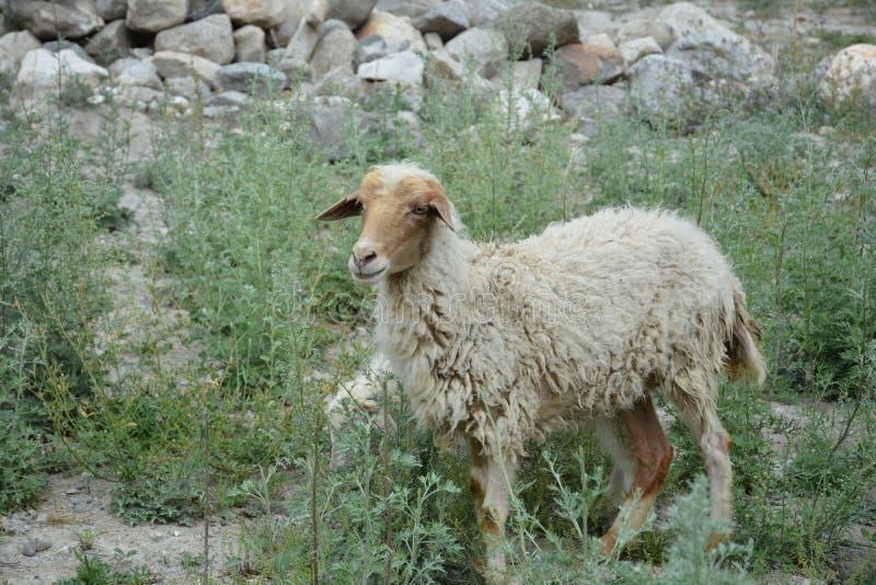 绵羊生活  免版税库存照片