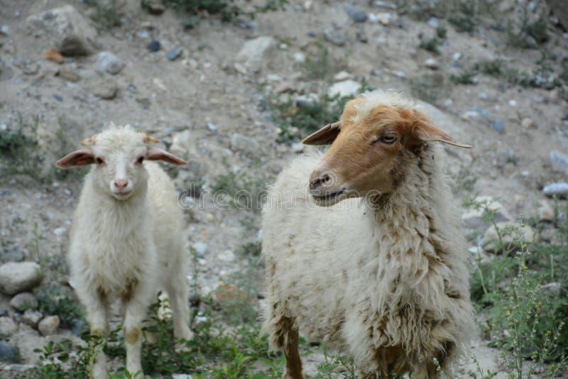 绵羊秘密生活  库存照片