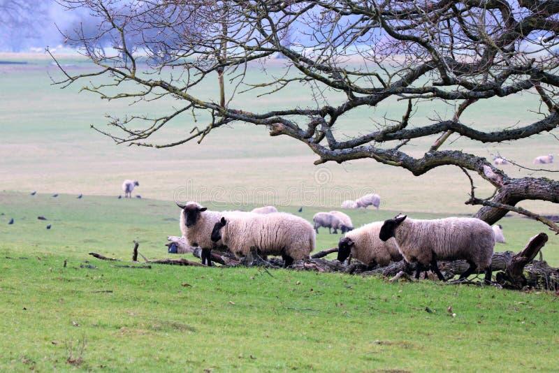 绵羊群在一棵光秃的树附近挤作了一团 库存照片