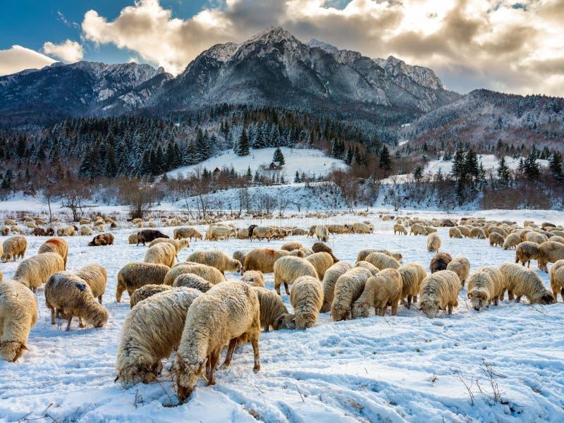 绵羊群在山的底部的 图库摄影