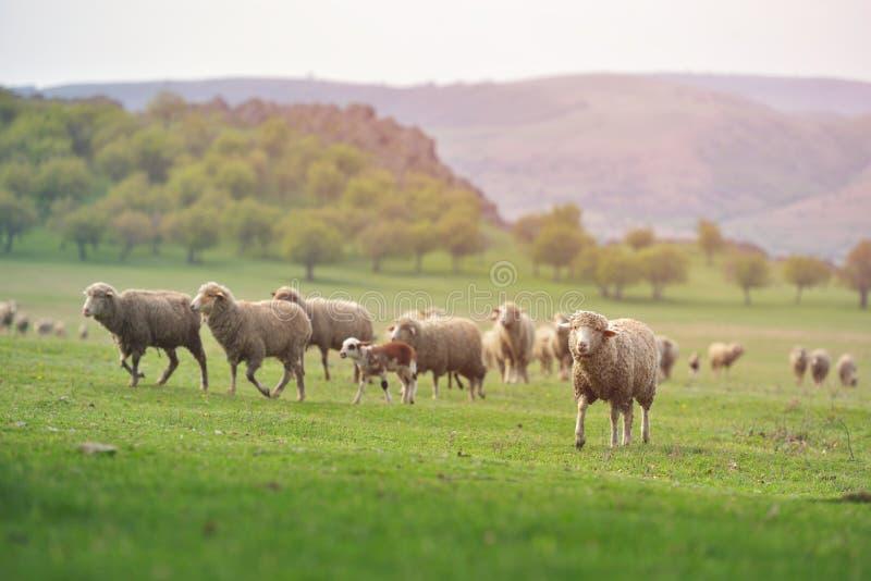 绵羊群在新鲜的春天绿色草甸的在日出期间 库存图片