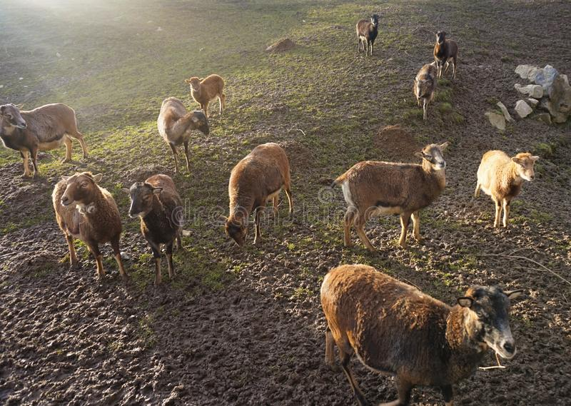 绵羊群在日落的在领域 库存图片