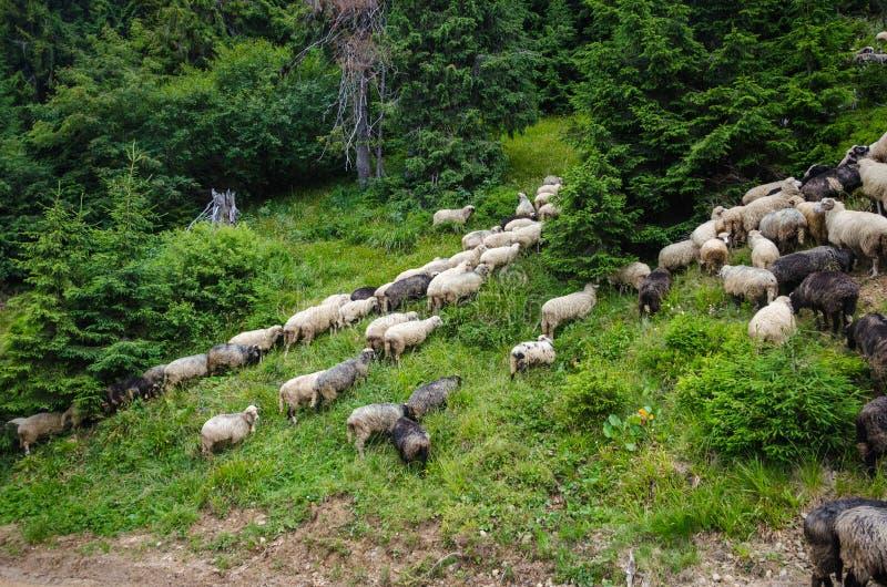 绵羊群在牧场地 图库摄影