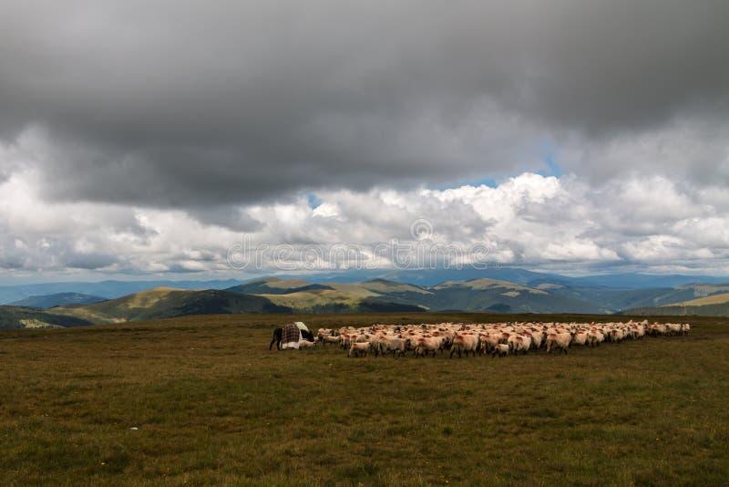 绵羊群在牧场地 免版税库存照片