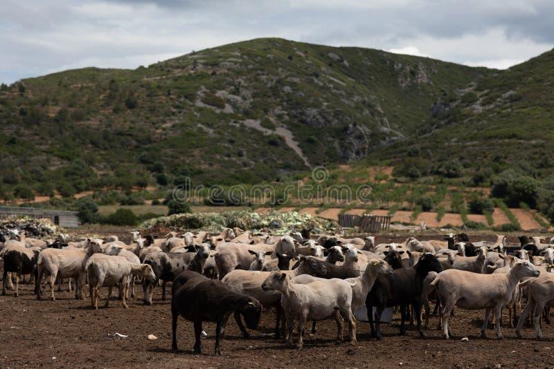 绵羊群在领域的 免版税库存图片