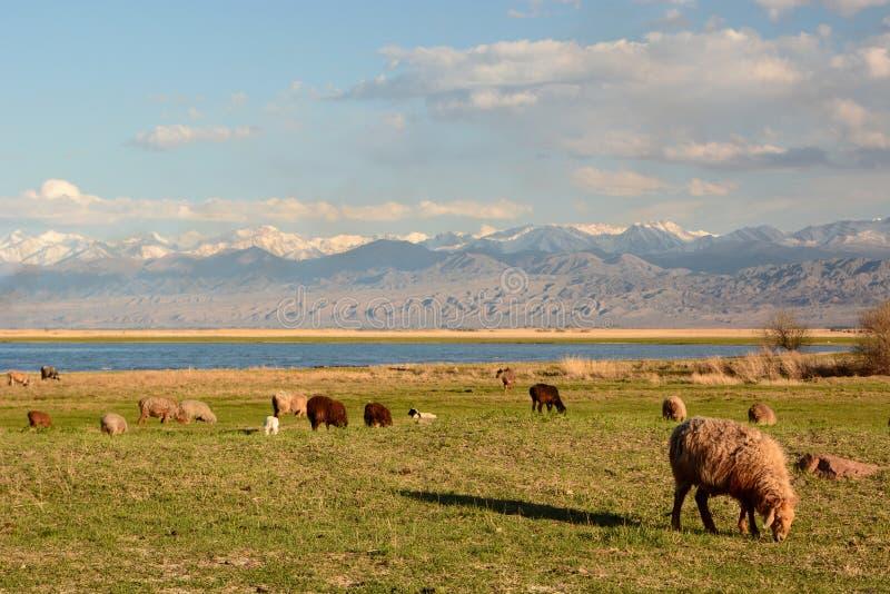 绵羊群在Issyk-Kul湖附近的 巴雷克奇 r 免版税图库摄影