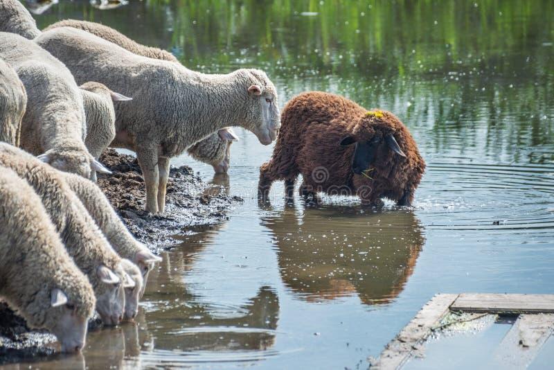 绵羊群用棕色绵羊饮料水反射了 免版税库存图片