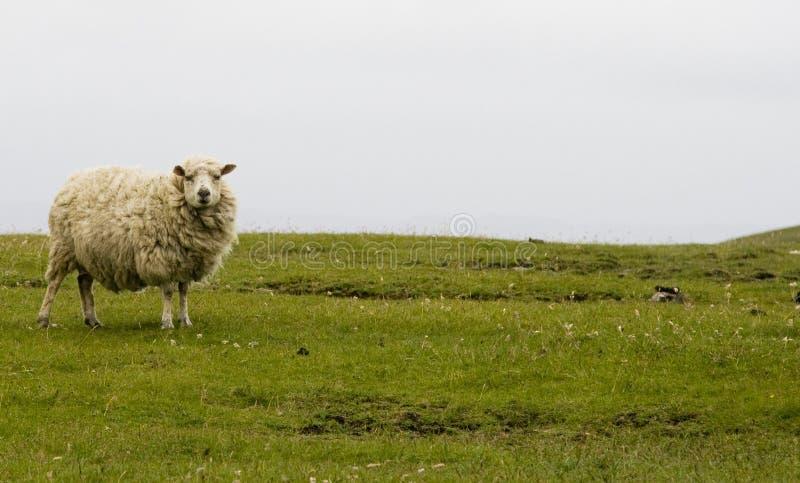 绵羊舍德兰群岛 库存照片
