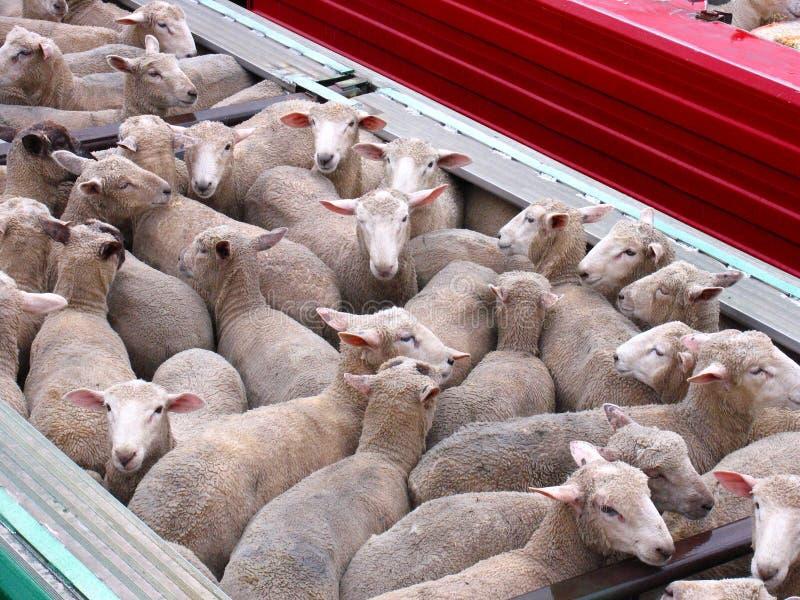 绵羊跟踪 库存照片