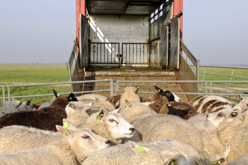 绵羊运输 库存照片