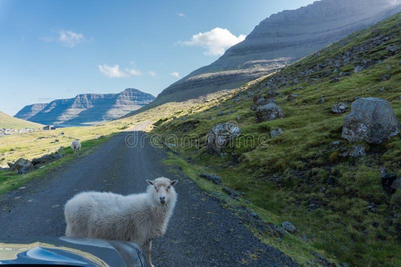 绵羊阻拦路,无需担心 图库摄影