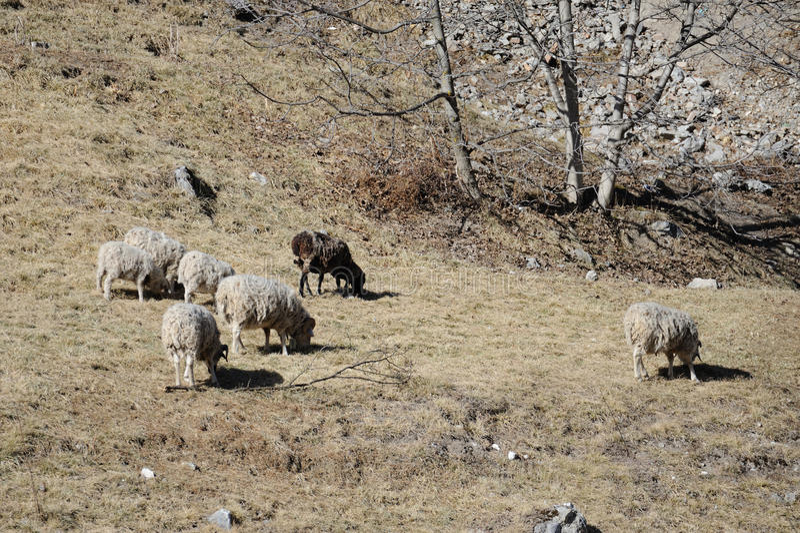 Download 绵羊 库存图片. 图片 包括有 问题的, 国家(地区), 小山, 结转, 成群, 吃草, browne, 敌意 - 30335471