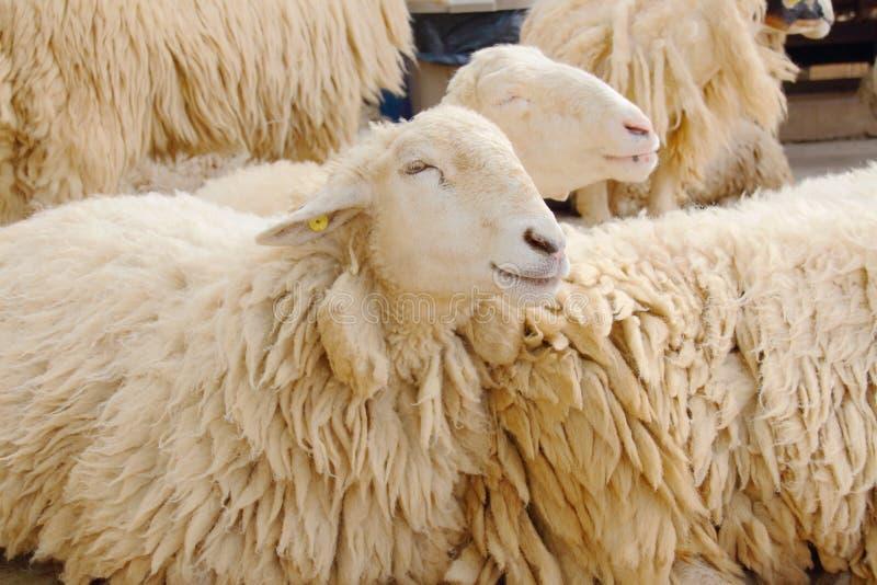 人和绵羊交配_图片 包括有 交配动物者, 生物, 哺乳动物, 眼睛, 查找, 可爱, 农场